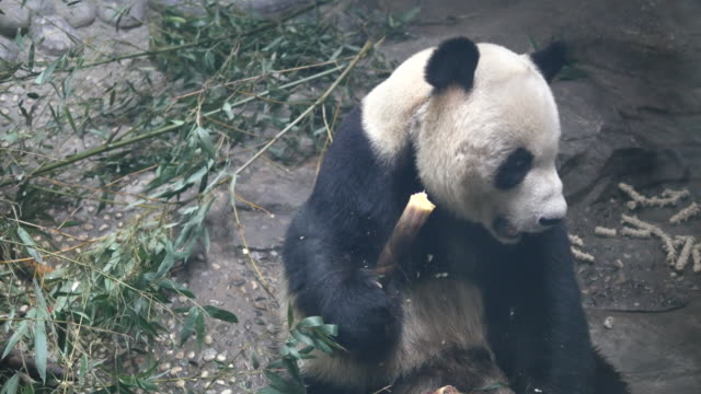 stockvideo's en b-roll-footage met panda eating at a zoo in beijing, china - bamboo plant