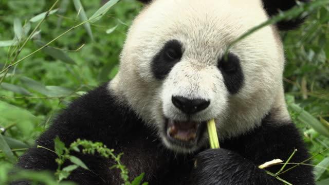 panda eating bamboo in wolong panda reserve - bamboo plant stock videos & royalty-free footage