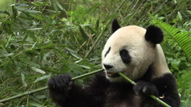 panda eating bamboo in wolong panda reserve - くま点の映像素材/bロール