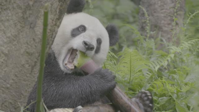 panda eating bamboo in wolong panda reserve - one animal stock videos & royalty-free footage