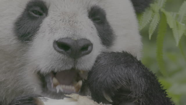 panda eating bamboo in wolong panda reserve - klaue stock-videos und b-roll-filmmaterial