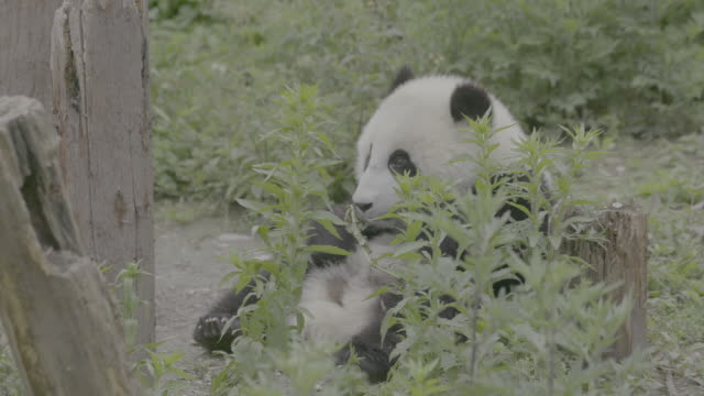 panda eating leaves at panda center, wolong district, china - animal abdomen stock videos and b-roll footage
