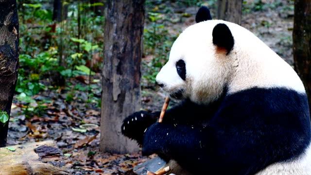 panda essen - groß stock-videos und b-roll-filmmaterial