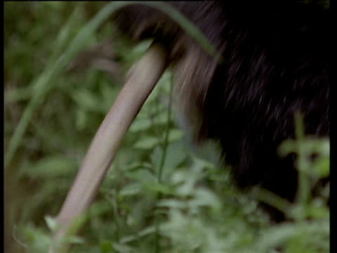 panda eats bamboo shoot in chengdu forest - bamboo shoot stock videos & royalty-free footage