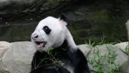 Panda enjoy eating bamboo leaves on pool side
