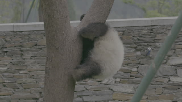 panda falling from a tree, wolong panda center - パンダ点の映像素材/bロール