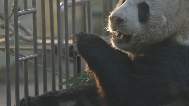 vidéos et rushes de panda frolic in beijing zoo - captive animals