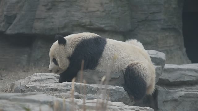 vidéos et rushes de panda frolic in beijing zoo - panda