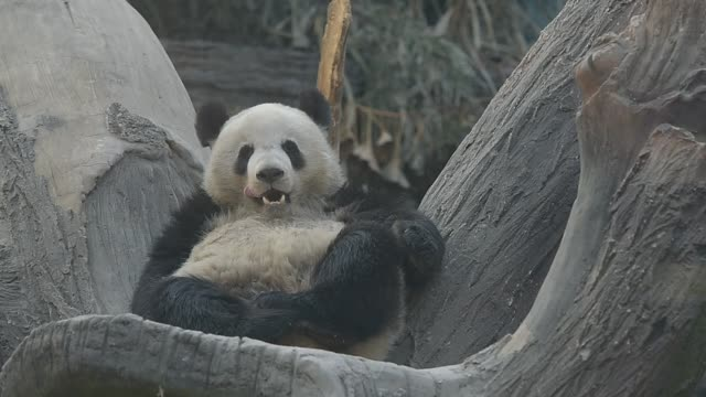 panda frolic in beijing zoo - panda stock-videos und b-roll-filmmaterial