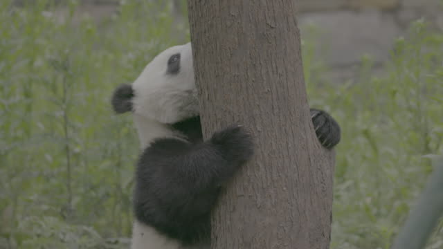 panda holding onto a tree, wolong panda center - hugging tree stock videos & royalty-free footage