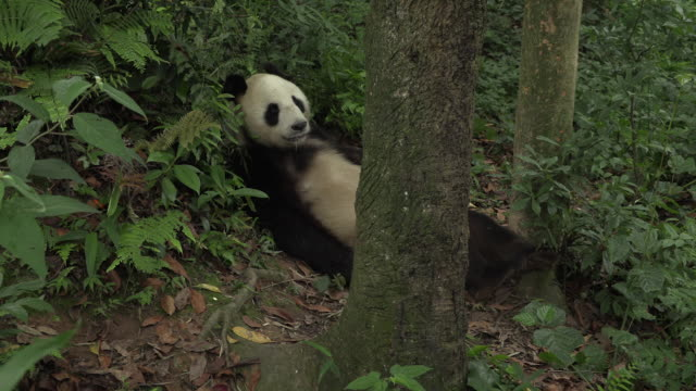 panda in wolong panda reserve scratches its leg - scratching stock videos & royalty-free footage