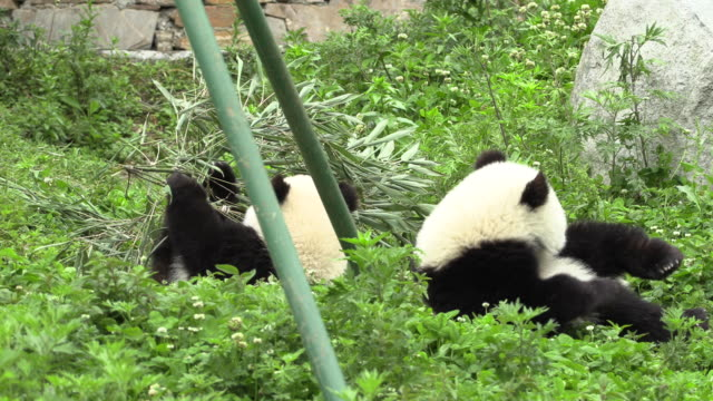 panda lost its bamboo leaves and rolls over, panda center, wolong district, china - two animals stock videos & royalty-free footage