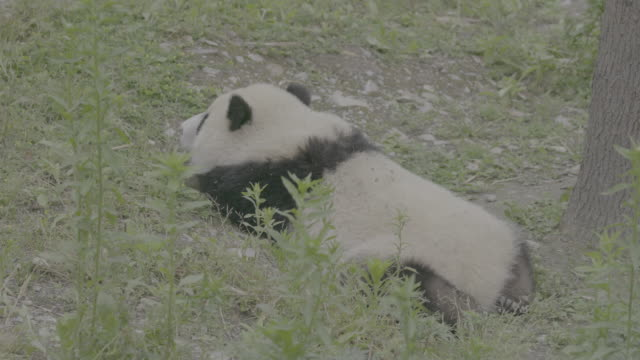 panda lying on front in panda center, wolong district, china - lying on front stock videos & royalty-free footage