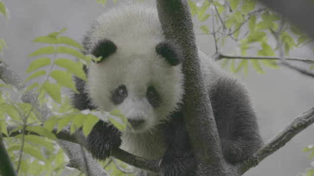 panda on a tree in rainy wolong panda reserve - animals in the wild stock videos & royalty-free footage