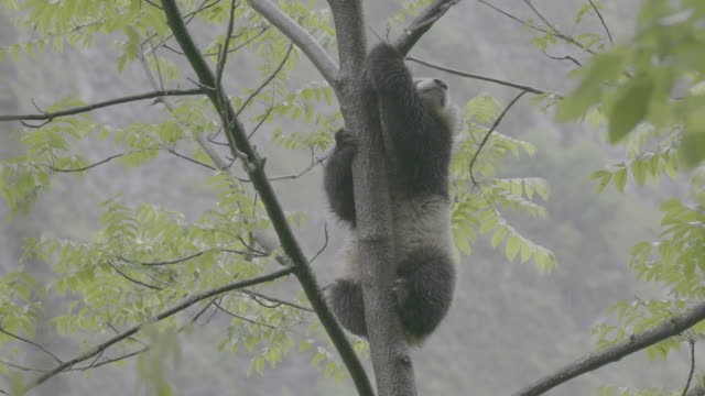 panda on a tree in rainy wolong panda reserve - limb body part stock videos & royalty-free footage