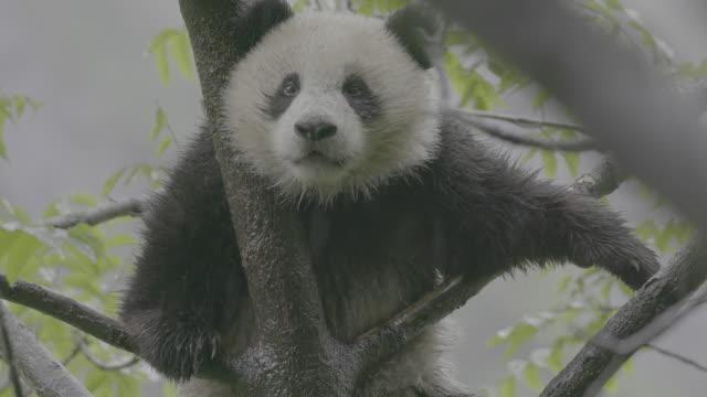 panda on a tree in rainy wolong panda reserve - パンダ点の映像素材/bロール
