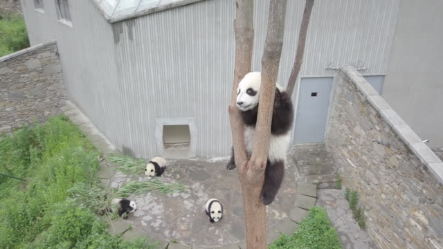 panda on a tree, panda center, wolong district, china - パンダ点の映像素材/bロール