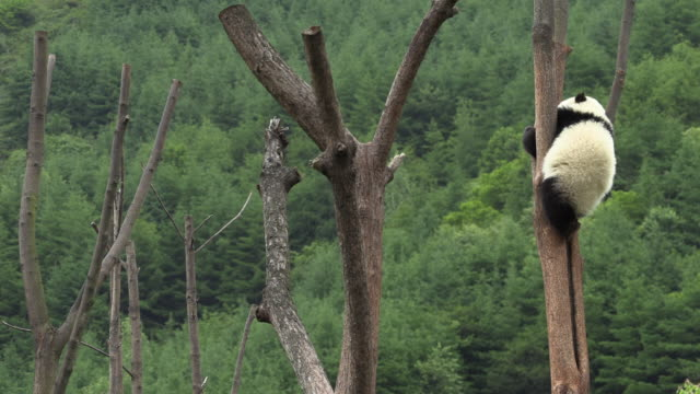 panda on a tree, panda center, wolong district - climbing stock videos & royalty-free footage