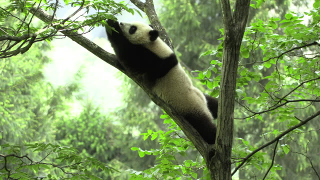 panda on a tree, trying to reach the leaves - limb body part stock videos & royalty-free footage