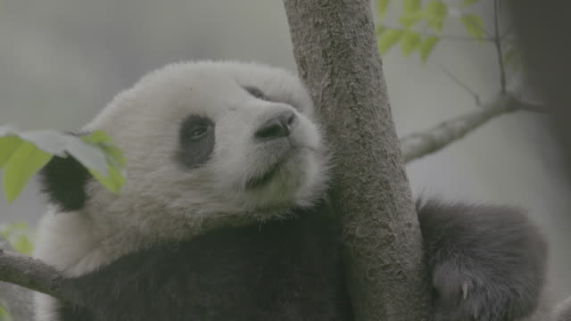 panda on a tree, wolong panda reserve - raubtier stock-videos und b-roll-filmmaterial