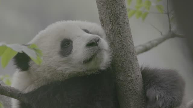 vidéos et rushes de panda on a tree, wolong panda reserve - branche partie d'une plante