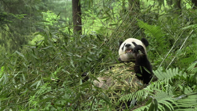 panda on its back, eating bamboo - bamboo plant stock videos & royalty-free footage