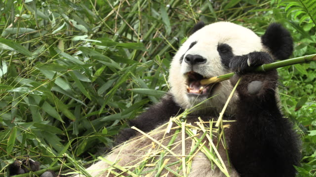 panda on its back, eating bamboo - masticare video stock e b–roll