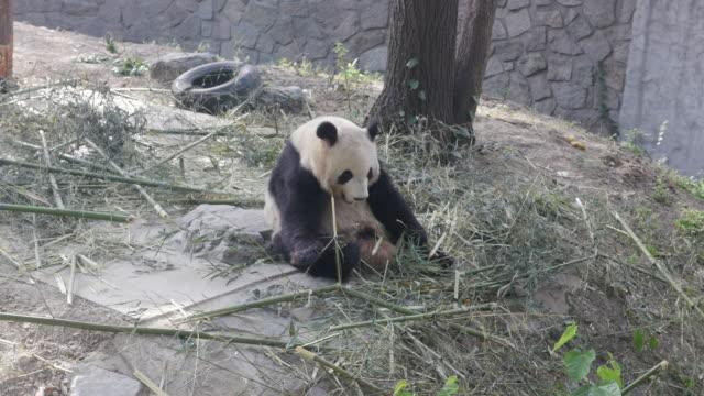 panda playing at a zoo in beijing, china - 動物園点の映像素材/bロール