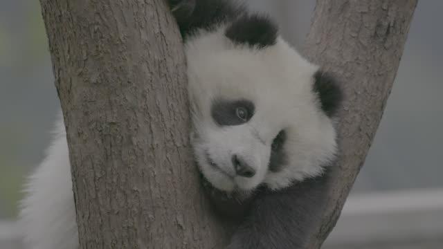 vidéos et rushes de panda putting its head between tree trunks, wolong panda center - panda