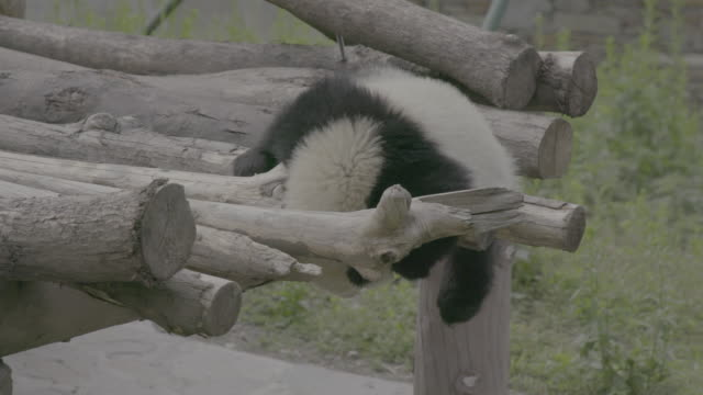 panda rolling around hanging from logs, wolong panda center - hanging stock videos & royalty-free footage