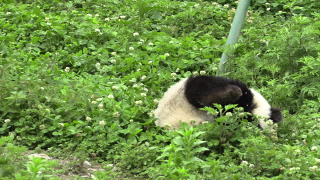 panda rolls around in panda center, wolong district, china - rolling stock videos & royalty-free footage