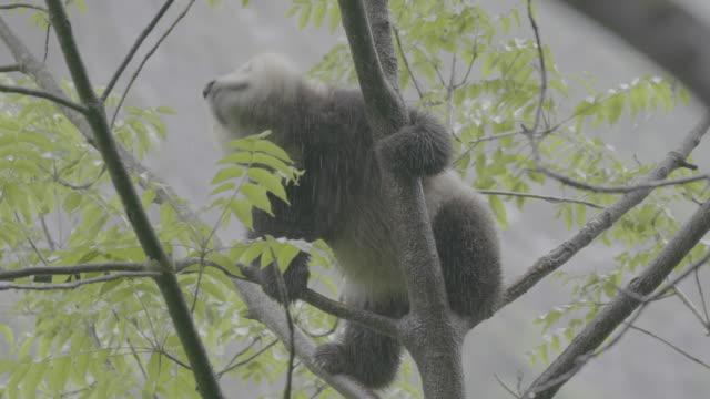 panda shaking itself on a tree, wolong panda reserve - raubtierjunges stock-videos und b-roll-filmmaterial