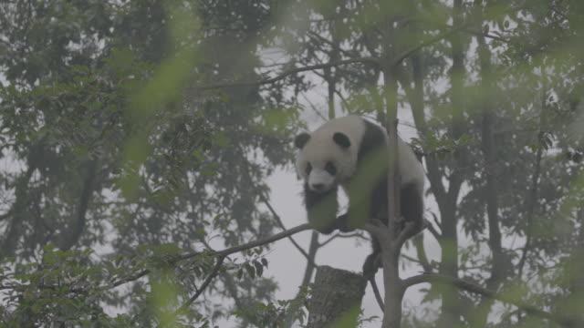 panda shaking tree, wolong panda reserve - panda stock-videos und b-roll-filmmaterial