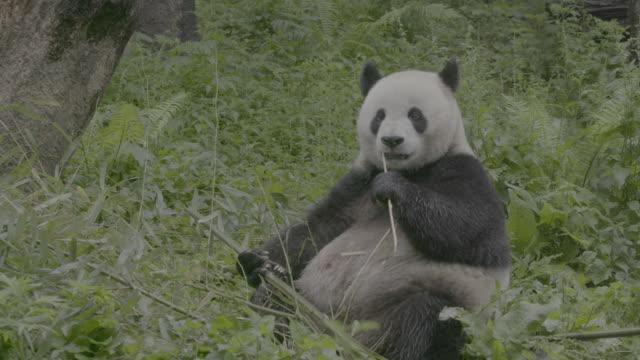panda sitting and eating bamboo in wolong panda reserve - くま点の映像素材/bロール