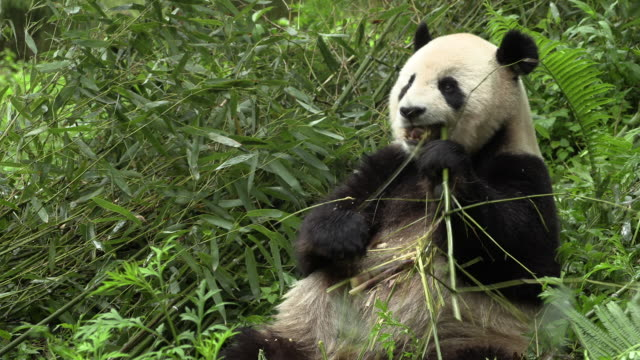 stockvideo's en b-roll-footage met panda sitting and eating bamboo in wolong panda reserve - bamboo plant
