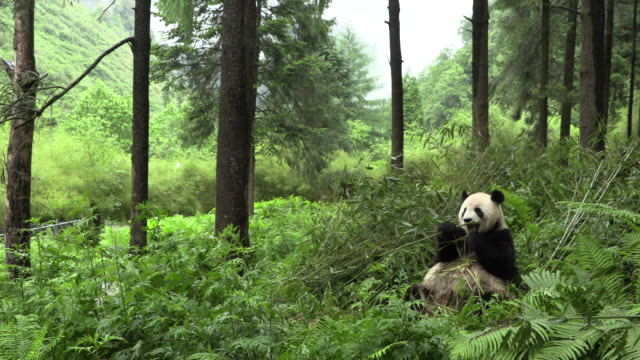 panda sitting and eating bamboo in wolong panda reserve - endangered species stock videos & royalty-free footage
