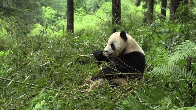 panda sitting and eating bamboo - bamboo plant stock videos & royalty-free footage