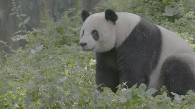 panda sitting in wolong panda reserve - animal nose stock videos & royalty-free footage