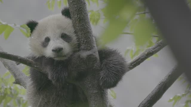 vidéos et rushes de panda sleeping on a tree in rainy wolong panda reserve - branche partie d'une plante