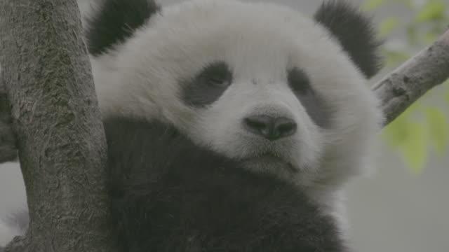 panda sleeping on a tree, wolong panda reserve - panda stock-videos und b-roll-filmmaterial