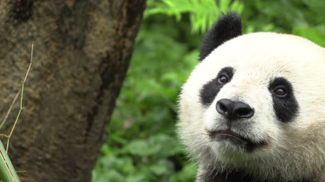 panda turning around, wolong panda reserve - animal head stock videos & royalty-free footage