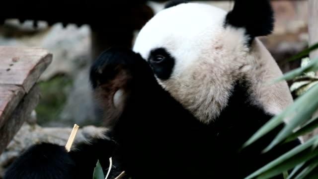 vídeos y material grabado en eventos de stock de panda. - panda animal