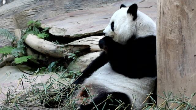 vidéos et rushes de panda - panda