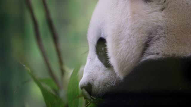 vídeos y material grabado en eventos de stock de oso panda - panda animal
