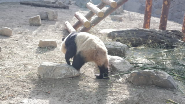 Panda walking at a zoo in Beijing, China