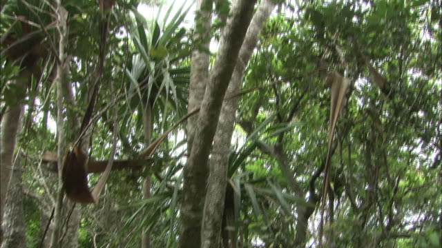 a pandanus boninensis grows in the soil of chichi-jima island. - subtropical climate stock videos and b-roll footage