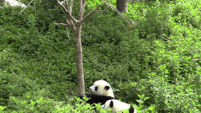 pandas fighting over a spot, panda center, wolong district, china - climbing stock videos & royalty-free footage