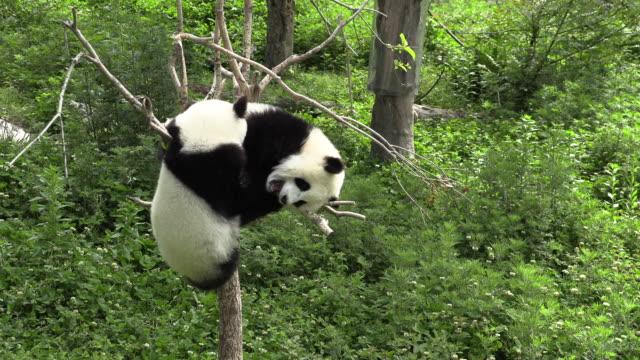 vidéos et rushes de pandas fighting over a spot, panda center, wolong district, china - panda