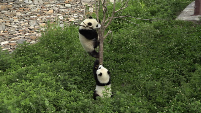 pandas fighting over a spot, panda center, wolong district, china - animal behaviour stock videos & royalty-free footage