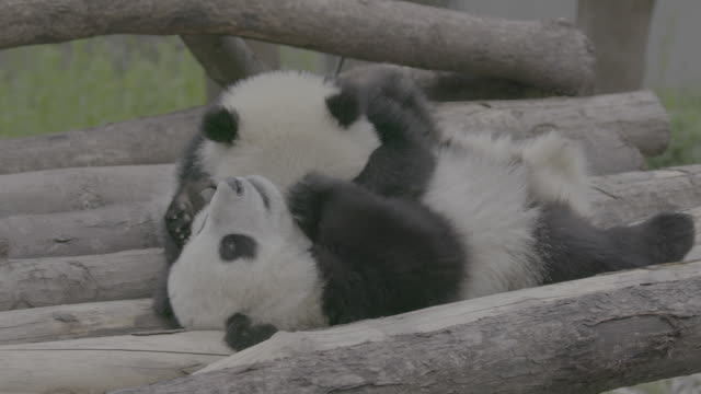 pandas on logs, panda center, wolong district, china - animal attribute stock videos and b-roll footage